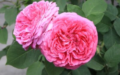 12. Sacred Roses (rich roses and dark cloisters) – Cassandra's Blog