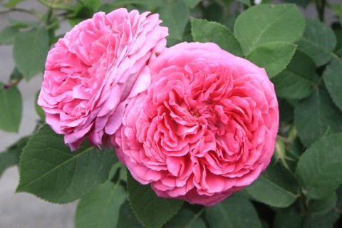 SACRED ROSES (RICH ROSES AND DARK CLOISTERS)